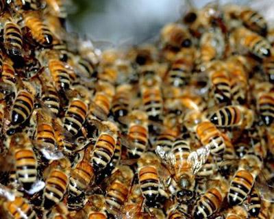 دسته بندی زنبورهای عسل در کندو
