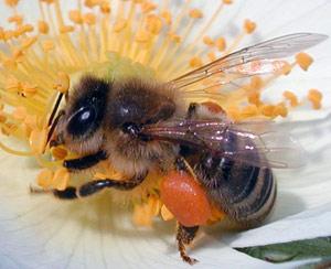 تشخیص سرطان با زنبور عسل