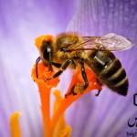 دماهای حساس زنبور عسل ها