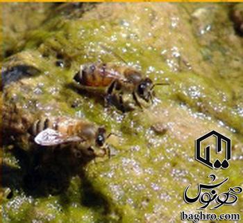 مطالب خاص در مورد زنبور عسل