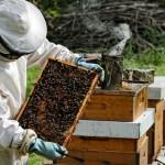 تكثير مصنوعي زنبورعسل