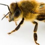 بررسی چشمان زنبور عسل ها