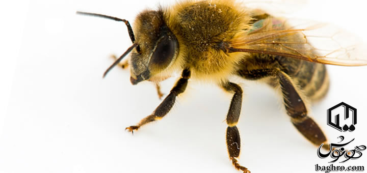 زنبورعسل
