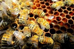 تصاویر زیبا از زنبورداری درمنطقه ایسپیدگان سمیرم